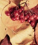 在秋天背景的荚莲属的植物莓果从黄色叶子 秋季、eco食物和收获概念 库存图片