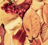 在秋天背景的荚莲属的植物莓果从黄色叶子 秋季、eco食物和收获概念 免版税库存图片