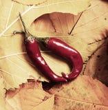 在秋天背景的辣椒从黄色叶子 秋季、eco食物和收获概念 免版税库存照片