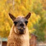 在秋天背景的骆马 免版税图库摄影