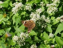 在秋天花的共同的蝴蝶 免版税库存照片
