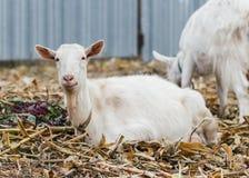 在秋天草的山羊,坐和看照相机、白色山羊村庄在玉米田,大农场或者农场的山羊 免版税库存照片