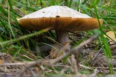 在秋天草的蘑菇 库存照片