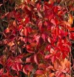 在秋天荣耀的弗吉尼亚爬行物藤 免版税库存照片