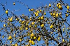 在秋天落叶子的一棵老树的果子 免版税库存图片