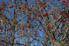 在秋天落叶子的一棵老树的果子 库存图片