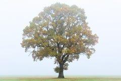 在秋天薄雾的橡树 库存图片