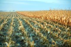 在秋天被收获的浩大的玉米领域 库存图片
