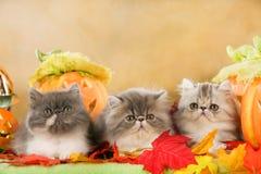 在秋天装饰的三只波斯猫 免版税库存图片