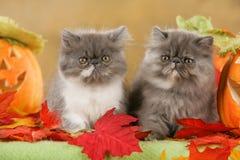 在秋天装饰的两只波斯猫 免版税图库摄影