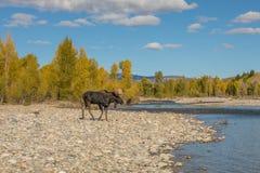 在秋天车轮痕迹期间的公牛麋在怀俄明 图库摄影