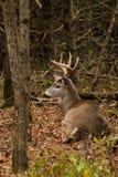 在秋天车轮痕迹期间供住宿的白尾鹿大型装配架 库存图片