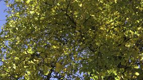 在秋天银杏树biloba的树叶子 股票录像