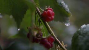 在秋天雨下的复盆子灌木丛 影视素材