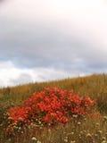 在秋天领域的红色灌木 库存照片