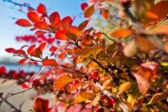 在秋天颜色上色的叶子在晴朗的10月早晨在贝尔格莱德 免版税库存照片