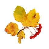 在秋天颜色的山楂树分支 免版税库存图片