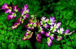 在秋天颜色的山罗卜叶子 免版税库存图片