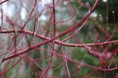 在秋天颜色的山茱萸布什 库存照片