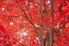 在秋天颜色的槭树 免版税库存图片
