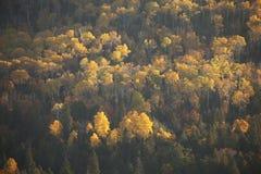 在秋天颜色的涌现从阴影的白杨木和杉木在s期间 图库摄影