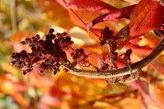 在秋天颜色的狂放的灌木 库存照片