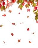 在秋天颜色的红槭 库存图片