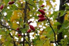 在秋天颜色的红色莓果 免版税图库摄影