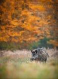在秋天颜色的野公猪 库存照片