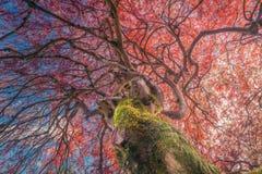 在秋天颜色的鸡爪枫与蓝天和云彩 库存图片