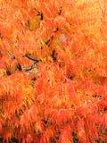 在秋天颜色的Staghorn Sumach羽毛似叶子 免版税库存照片