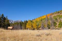 在秋天风景的公牛麋 库存图片