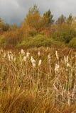 在秋天风景的共同的纸莎草 免版税库存图片