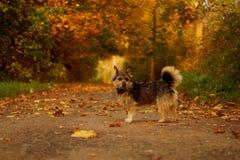 在秋天风景的狗 图库摄影