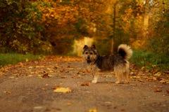 在秋天风景的狗 免版税图库摄影
