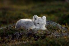 在秋天风景的白狐 免版税库存照片