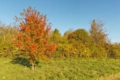 在秋天风景的红色树与红色和桔子叶子 机智 库存图片