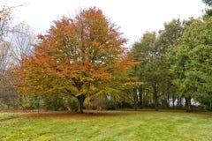 在秋天风景的红色树与红色和桔子叶子 免版税库存照片