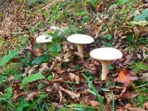 在秋天风景的蘑菇 免版税库存照片