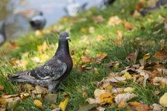 在秋天风景的鸽子 免版税图库摄影