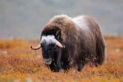 在秋天风景的麝牛 免版税库存图片