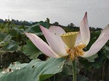 在秋天,莲花在绿色叶子离开 图库摄影