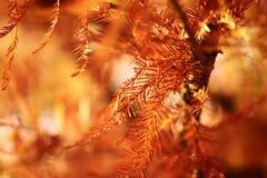 在秋天/秋天日落的金黄杉木叶子  免版税图库摄影