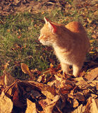 在秋天黄色叶子的红色猫 库存图片