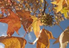 在秋天细节的胶皮枫香树叶子 库存图片
