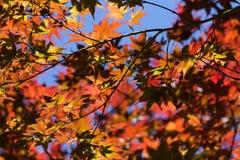 在秋天withblue天空的槭树叶子 免版税图库摄影