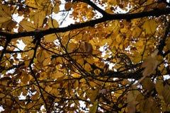 在秋季低角度视图的橙树 图库摄影