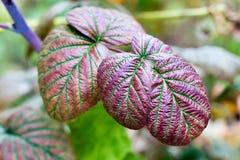 在秋季期间的莓叶子 库存照片