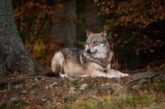 在秋季木头的狼 免版税库存照片