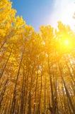 在秋季的亚斯本树 免版税库存照片
